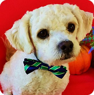 Bichon Frise/Poodle (Miniature) Mix Dog for adoption in Irvine, California - Newman