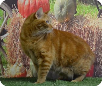 Domestic Mediumhair Cat for adoption in Lebanon, Missouri - Chloe