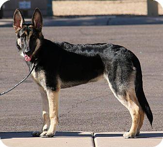German Shepherd Dog Mix Dog for adoption in Phoenix, Arizona - Tucker