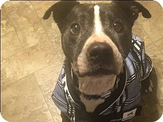 Pit Bull Terrier Mix Dog for adoption in Franklin, West Virginia - Tank