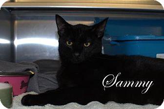 Domestic Shorthair Kitten for adoption in Middleburg, Florida - Sammy