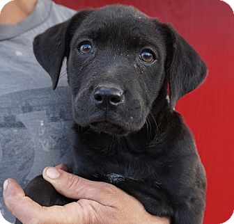 Australian Cattle Dog Mix Puppy for adoption in Oviedo, Florida - Thomas