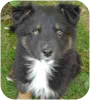 Collie Mix Puppy for adoption in Athabasca, Alberta - CELESTE
