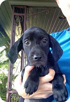 Redbone Coonhound/Labrador Retriever Mix Puppy for adoption in Oviedo, Florida - Peanut