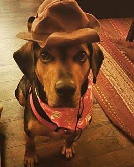 Hound (Unknown Type) Mix Dog for adoption in Chicago, Illinois - Grady