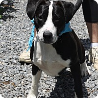 Boxer/Bull Terrier Mix Puppy for adoption in West Grove, Pennsylvania - Duke