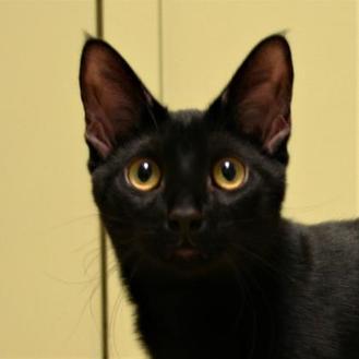 Domestic Shorthair/Domestic Shorthair Mix Cat for adoption in Hastings, Nebraska - Pisces