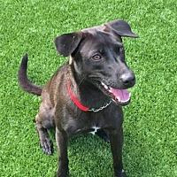 Adopt A Pet :: 'LULU' - Agoura Hills, CA