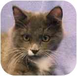 Domestic Mediumhair Kitten for adoption in Walker, Michigan - Monkey