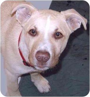 Labrador Retriever/Terrier (Unknown Type, Medium) Mix Puppy for adoption in Grass Valley, California - D.O.G.
