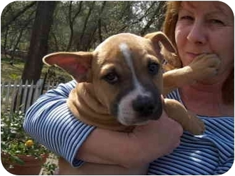 Boxer/Australian Cattle Dog Mix Puppy for adoption in Auburn, California - Peanut