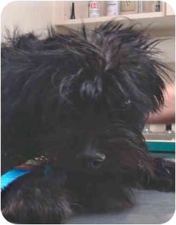 Schnauzer (Miniature)/Terrier (Unknown Type, Small) Mix Dog for adoption in North Wilkesboro, North Carolina - Scruffy