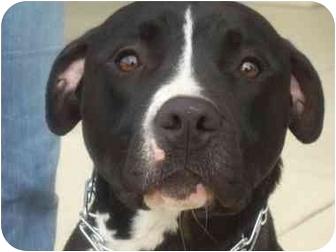 American Pit Bull Terrier/American Pit Bull Terrier Mix Dog for adoption in Staunton, Virginia - Juno - FOSTERED