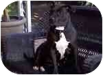 American Pit Bull Terrier/American Staffordshire Terrier Mix Dog for adoption in Sacramento, California - China;lovely girl