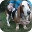 Photo 1 - Basset Hound Dog for adoption in Folsom, Louisiana - Bella