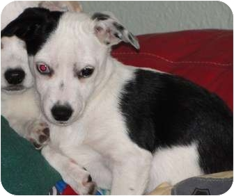 Jack Russell Terrier/Chihuahua Mix Puppy for adoption in Astoria, New York - Sally