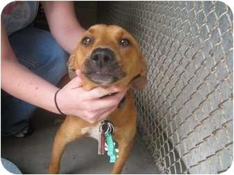 Labrador Retriever Mix Dog for adoption in Henderson, North Carolina - Wallie