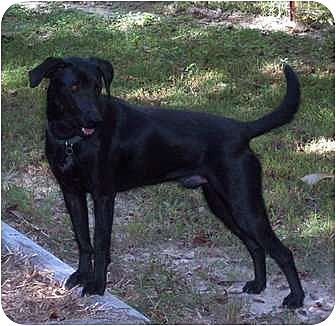 Shepherd (Unknown Type)/Labrador Retriever Mix Dog for adoption in Centerville, Tennessee - Rocky
