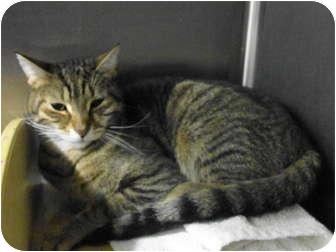 Domestic Shorthair Cat for adoption in Warminster, Pennsylvania - Fellow