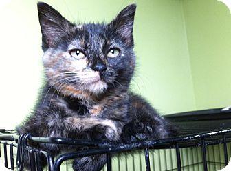 Domestic Shorthair Kitten for adoption in Huntsville, Ontario - Vashti - Born in May!