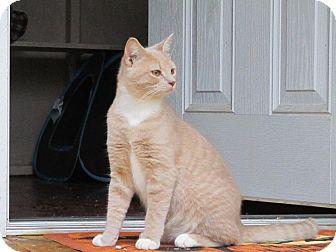Domestic Shorthair Kitten for adoption in Bedford, Virginia - Ginger Kisses