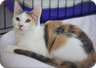 Calico Kitten for adoption in Trevose, Pennsylvania - Gemma