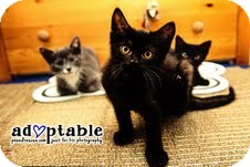 Domestic Shorthair Kitten for adoption in Okotoks, Alberta - Sly