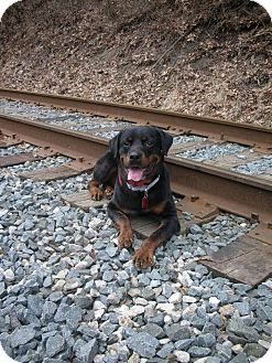 Rottweiler Mix Dog for adoption in Frederick, Pennsylvania - Manny