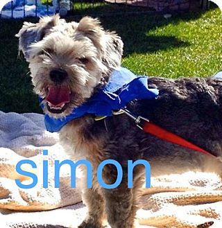 Shih Tzu/Lhasa Apso Mix Dog for adoption in Scottsdale, Arizona - Simon