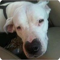 Adopt A Pet :: Chaya - Sierra Vista, AZ