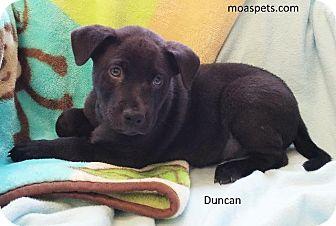 Labrador Retriever/Hound (Unknown Type) Mix Puppy for adoption in Danielsville, Georgia - Duncan