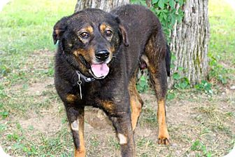 Shepherd (Unknown Type) Mix Dog for adoption in Salem, New Hampshire - BRADFORD