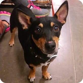 Terrier (Unknown Type, Small) Mix Dog for adoption in Minneapolis, Minnesota - Gable