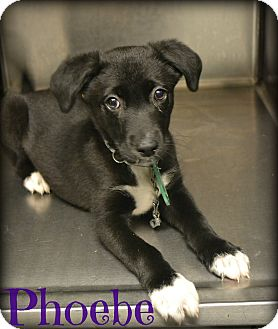 Labrador Retriever Mix Puppy for adoption in Beaumont, Texas - Phoebe