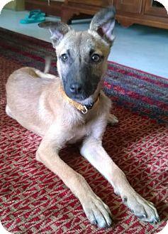 Hound (Unknown Type) Puppy for adoption in Wilbraham, Massachusetts - Charlie