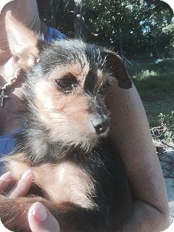 Yorkie, Yorkshire Terrier Mix Dog for adoption in Kaufman, Texas - Bailey