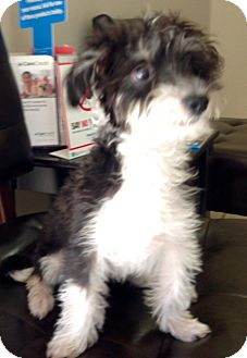 Poodle (Miniature) Mix Puppy for adoption in Phoenix, Arizona - Chase
