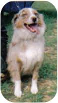 Australian Shepherd Dog for adoption in Corryton, Tennessee - Mango
