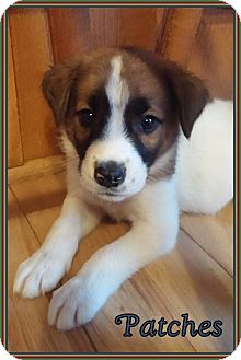 St. Bernard/Labrador Retriever Mix Puppy for adoption in Lincoln, Nebraska - PATCHES