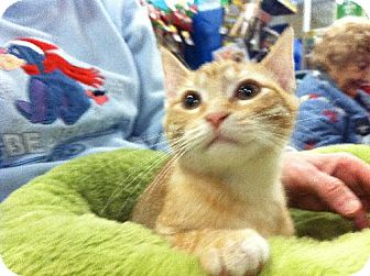 Domestic Shorthair Kitten for adoption in Wilmore, Kentucky - Bach