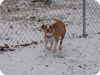 Pit Bull Terrier Mix Dog for adoption in North Wilkesboro, North Carolina - Diamond