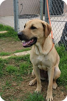 Black Mouth Cur Mix Dog for adoption in Pluckemin, New Jersey - Cher