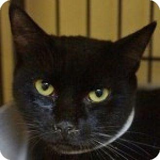 Domestic Shorthair Cat for adoption in Medford, Massachusetts - Tasha
