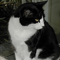 Domestic Shorthair Cat for adoption in Naples, Florida - Sadie