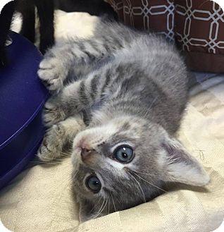 Domestic Shorthair Kitten for adoption in Hendersonville, North Carolina - Bracken