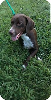 Pointer Mix Dog for adoption in Woodbridge, Virginia - Kiwi
