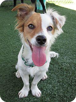 Dachshund/Terrier (Unknown Type, Small) Mix Dog for adoption in Santa Ana, California - Yogi