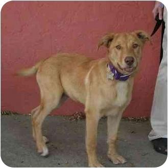 Labrador Retriever/English Shepherd Mix Dog for adoption in Denver, Colorado - Lou