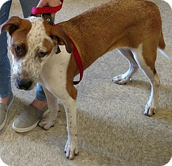 Pointer/Australian Shepherd Mix Dog for adoption in Houston, Texas - Freckles