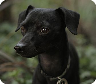 Miniature Pinscher/Dachshund Mix Dog for adoption in Encino, California - Blackie